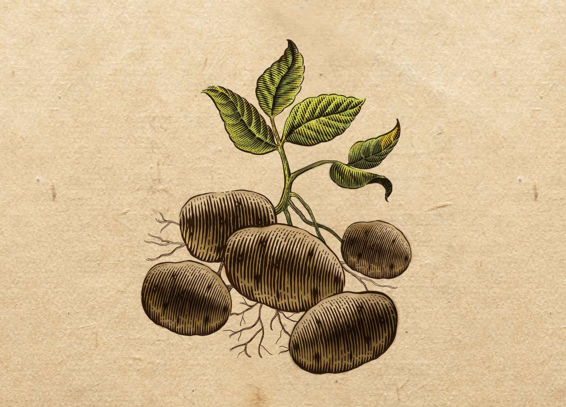bulves-maz